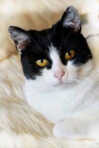 Katten Christmas ser rett inn i kamera. Nærbilde. En katt med sort maske og nydelige ravgule øyne med et skjær av oransje og en anelse grønt. Nesepartiet, snute bryst og kajker er dekket av hvit pels. Hun har litt rufsete ører som vitner om hennes harde fortid.