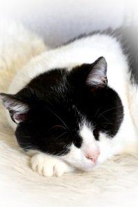 Christmas ligger på en hvit skinnfell og sover. Hun hviler hodet på potene og ser veldig tilfreds ut.