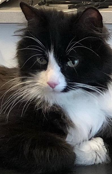 Den sorte og hvite katten Nena har hodet vendt forover og litt ned til høyre. Hun ligger på et bord og titter litt ned. Hun er sort og hvit.