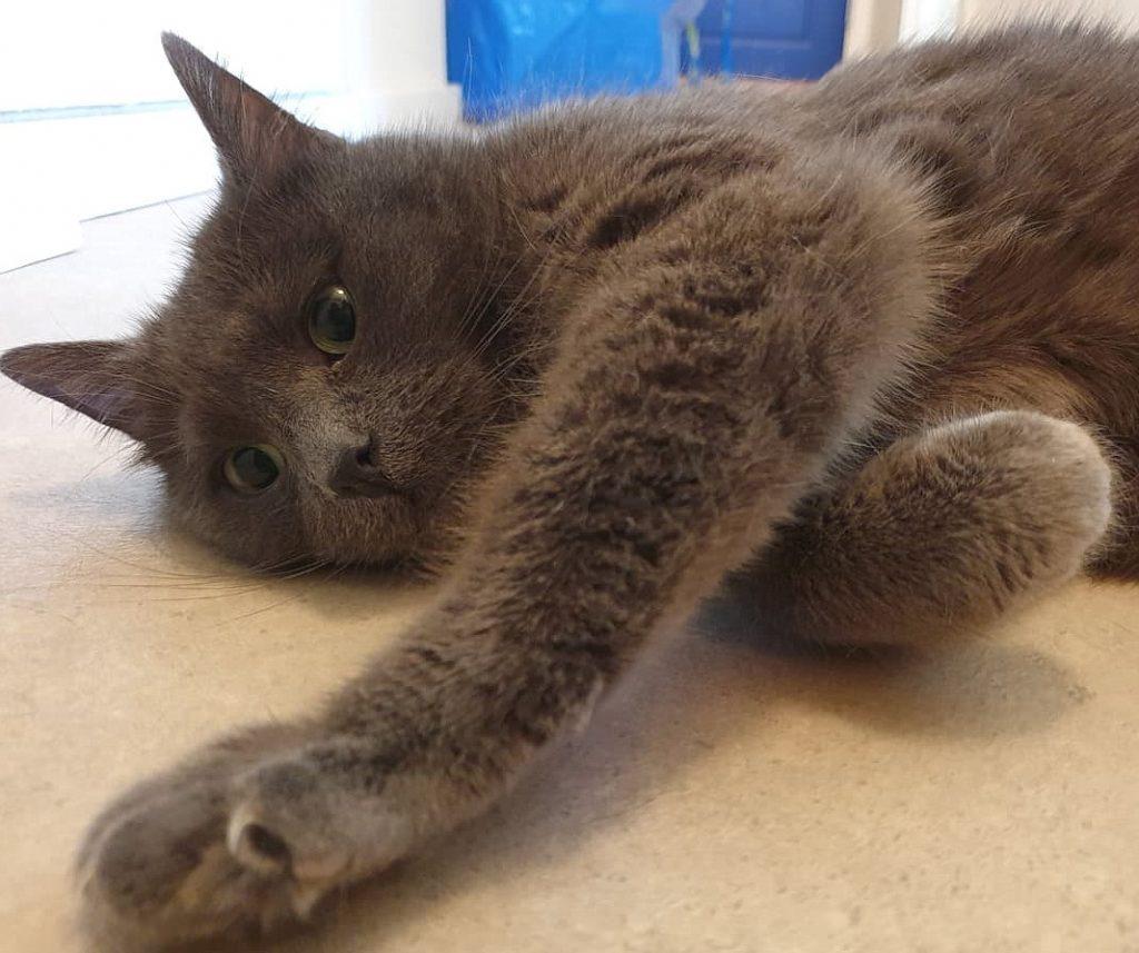 Bastian ligger på siden med en pote på gulvet. Han har grå pels og gulgrønne øyne.