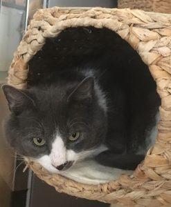 Junior ligger i en kattehule av bast. Hodet stikker ut og han ser mot kameraet. Han er grå på hodet og har en grå flekk på snuten og litt av venstre snutedel, ellers hvit. Han ligger i en krøll oppå et pledd inne i kattehulen som er en del av et større  kattestativ.