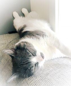 Junior ligger på ryggen med magen opp og sover på sofaryggen. Katten har grå rygg og hode med hvit buk, hals og kjaker. Han ligger på sofaen med hodet vendt mot høyre. Sollyset strømmer inn fra vinduet fra høyre. Forbena er vendt mot vinduet og bakbene står opp langs veggen bak han.