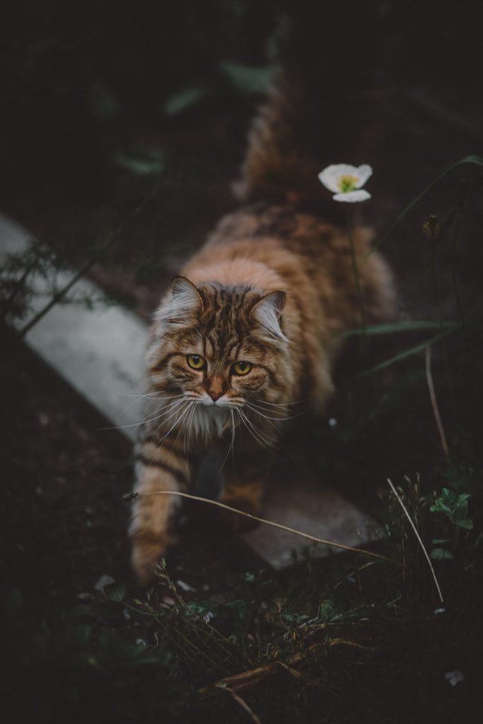 En rødstipet katt med gule øyne går ute i naturen. Det er kveld og mørkt, Katten ser mot kameraet, Det er ugress rundt katten og den tråkker over en planke som ligger på marken.