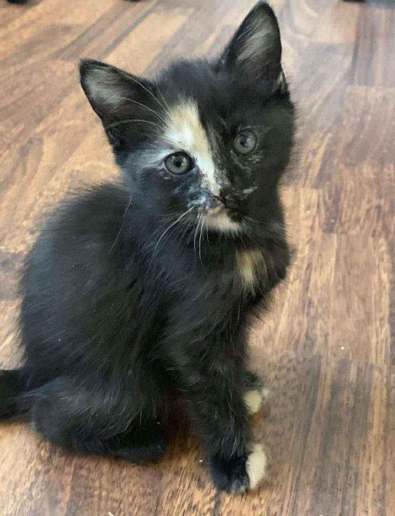 Kattungen Phoenix sitter på gulvet .  Vi ser henne fra siden og hun har hodet vendt mot kameraet. Hun har sort pels på kroppen, små beige partier på forlabbene-tærne. Litt beige på kragen og rett ned nesen er det en stripe med beige og hvitt som går fra nesen og opp til litt over høyre øyet. Ørene står rett opp og det er litt lyse lange hår som  stikker ut av ørene også. En søt kattunge med hodet litt på skakke. Gråfargede øyne ser rett på deg.