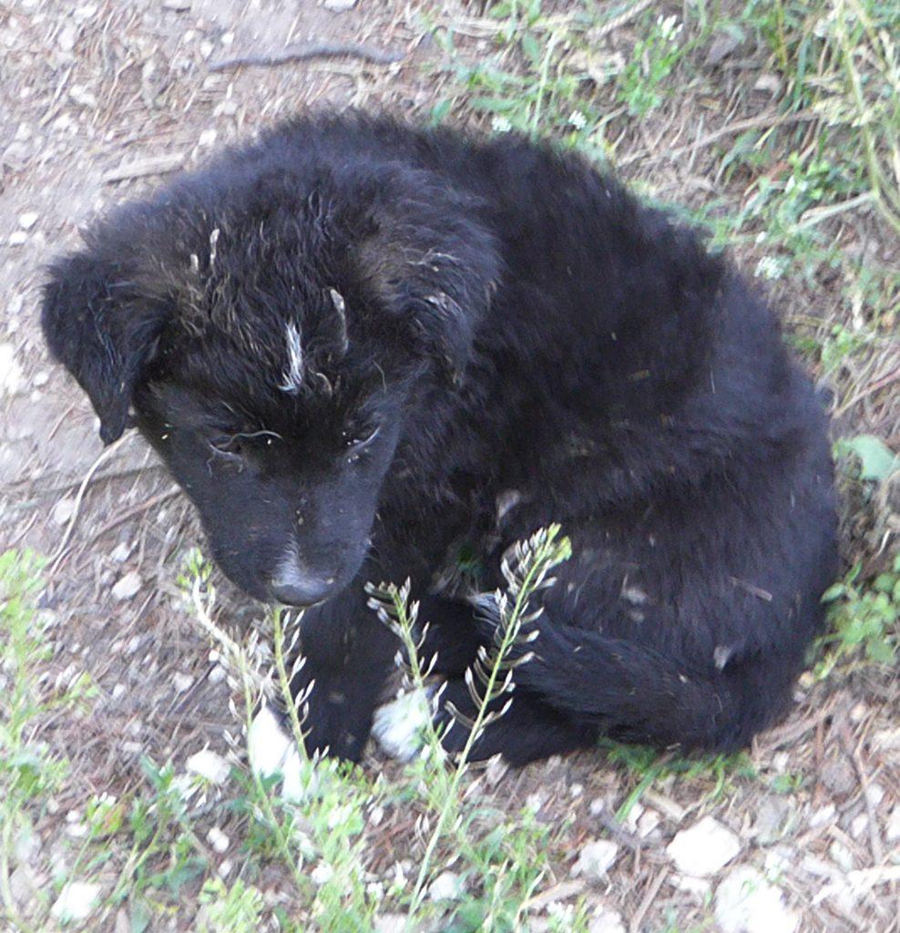 En liten sort valp sitter på bakken blant ugress. Valpen er litt  trukket sammen med halen rundt seg til venstre. Valpen er sort og har halvlangt hår. Ørene henger ned foran og den ser ned og til høyre.