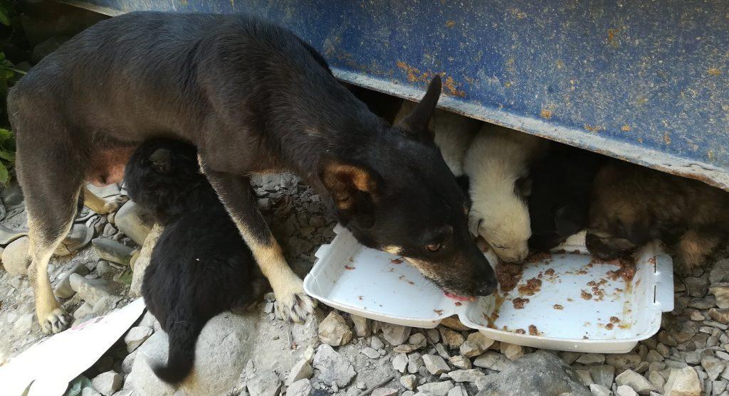 En sort voksen hund med beige labber står i en steinrøys og strekker seg mot en isoporbeholder med mat i. Bak hunden ser du litt av en blå container. Mellom bena på hunden og under kontaineren kan du skimte 5 hundevalper som også spiser av maten.