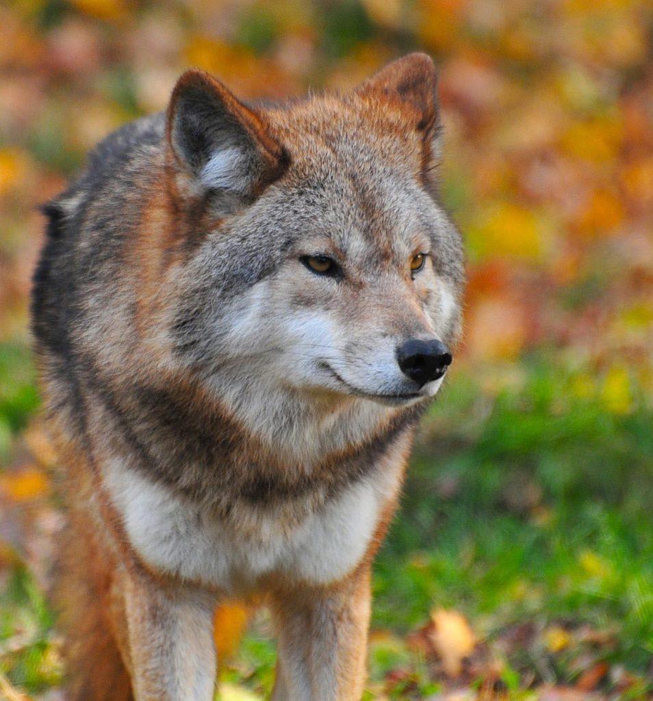 Foto av en ulv med uklar bakgrunn av høstløv og gress. Ylven står i gresset og ser til høyre side. Vi ser den forfra.