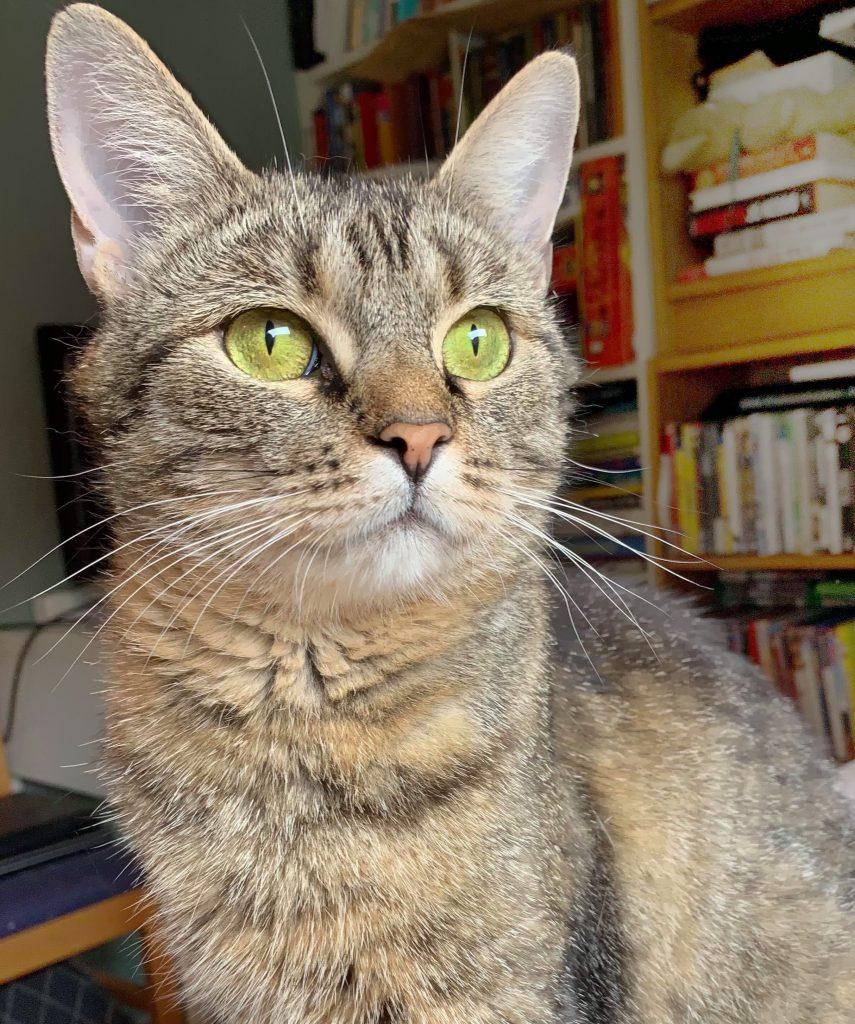 Nessy er i nærbildet og ser til høyre, Hun er tigerstripet, med litt lys pels. Ørene står rett opp og hun har vakre gulgrønne øyne og en rosa nese.