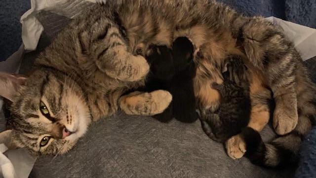 Nessy ligger på siden og ammer barna sine. De er bittesmå, helt til høyre er en tigerstripet kattunge, og til venstre for de ser vi to sorte nøster. Nessy har labbene trukket opp mot brystet og har halvlukkede øyne.