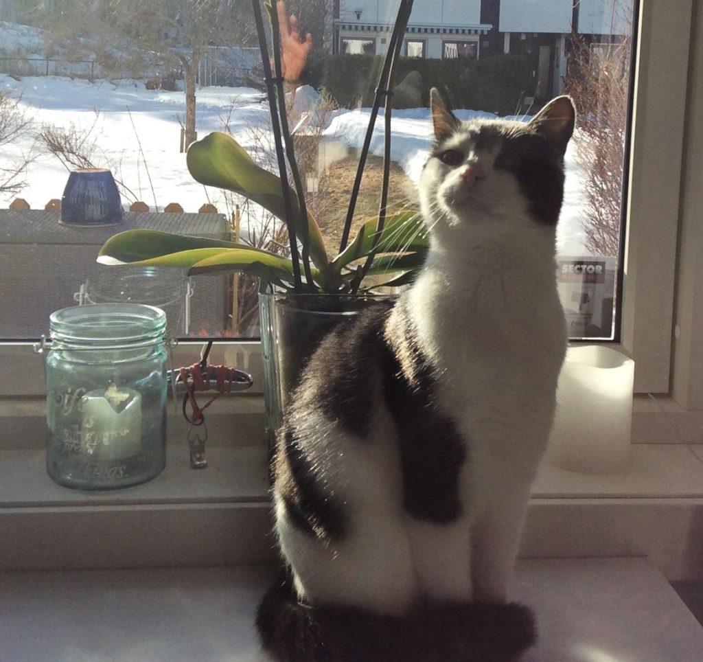 Sheeba sitter i vinduskarmen Det er vinter ute og snøen ligger på gressplenen. Hun sitter med hodet opp, som om hun lukter noe.