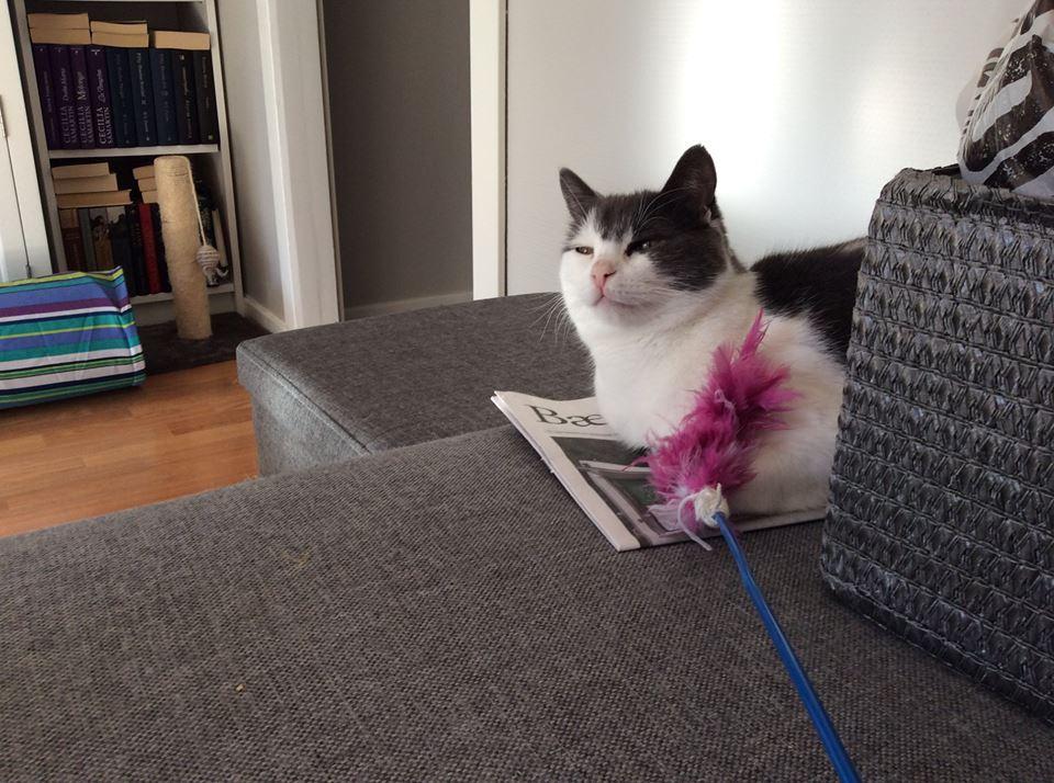 Sheeba ligger på en grå sofa, en lekepinne med rosa fjær på er synlig og det er en bokhylle i bakgrunnen med mange bøker.