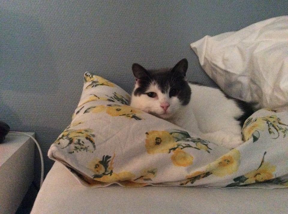 Sheeba ligger på hodeputen i senga til matmor. Putetrekket har gule store blomster.