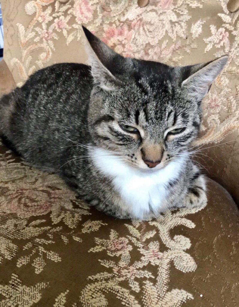 Summer ligger i sofaen og sover. Hun er tigerstripet med hvit snute og hvitt bryst. Hun ligger med bena innunder seg.