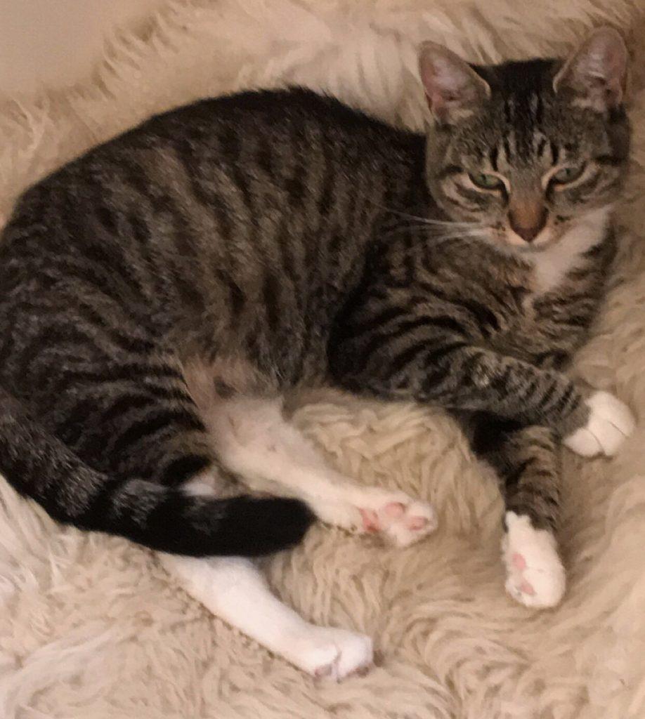Summer ligger på siden med bena ut og sover på en skinnfell.Hun er tigerstripet med hvite poter.