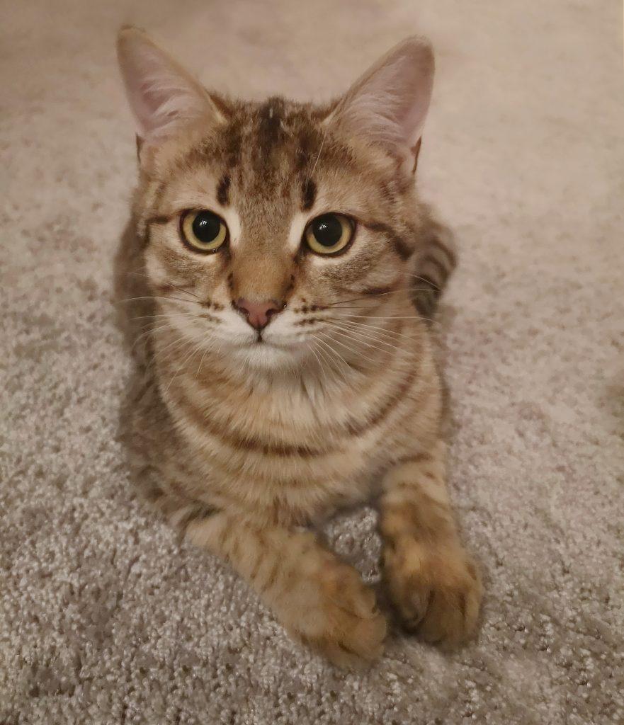 Tigerstripet kattunge ligger på et beide teppe. Ser rett inn i kameraet med store nydlige øyne.