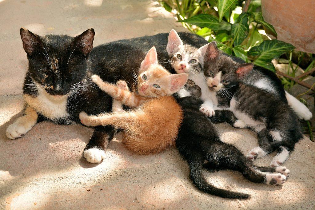 Tricolor kattemor  med sine fire små kattunger.