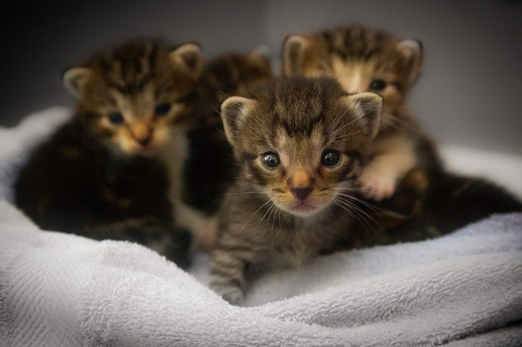 Fire små tabby kattunger i et håndkle-