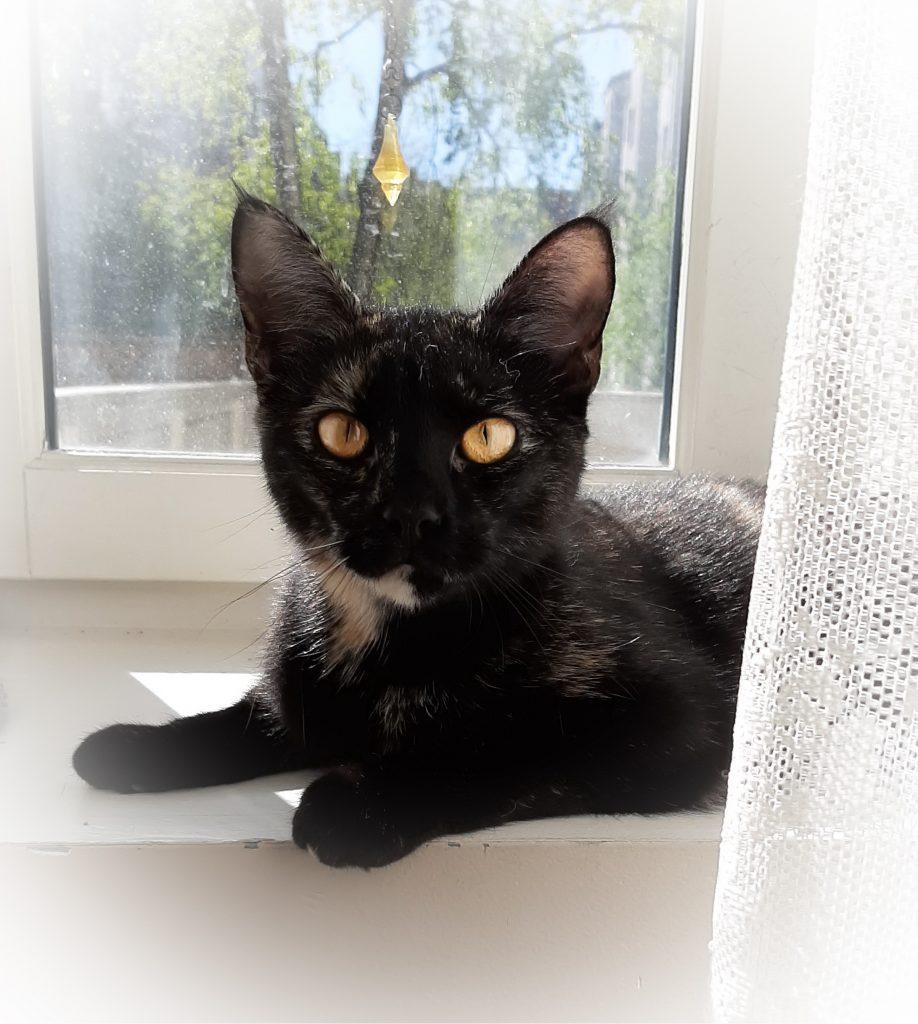 Spicy er den fineste vinduspynten. Her ligger hun i vinduskarmen og ser inn i rommet.