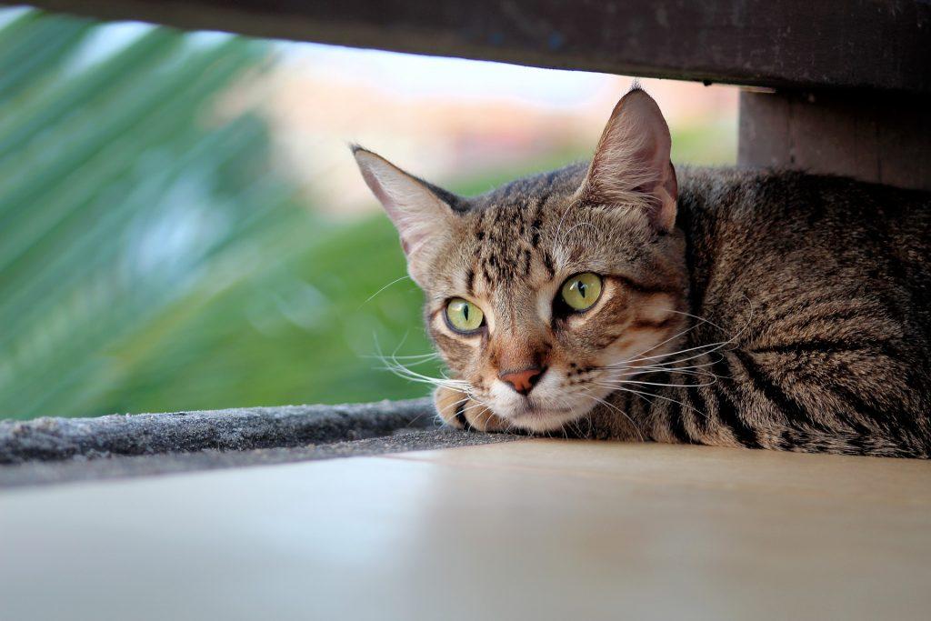 Bilde av en tigerstripet katt  som ligger med hodet på potene.
