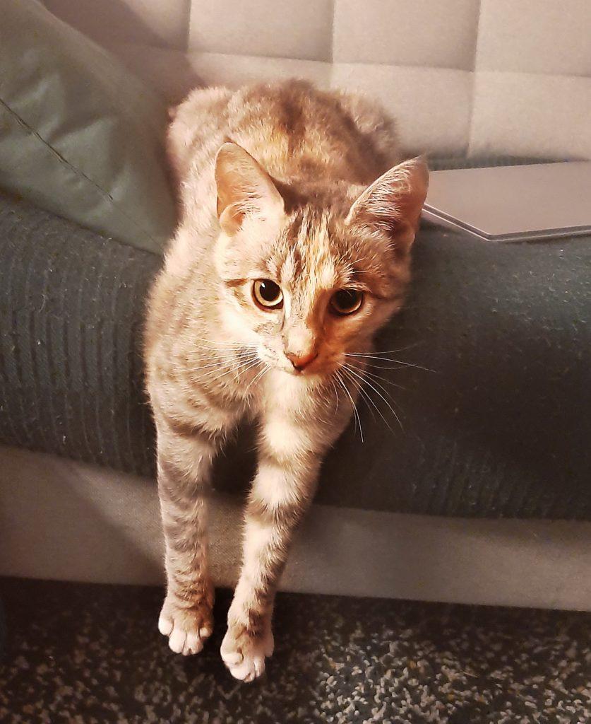 Osmos henger over sofakanten og ser inn i kameraet. Hun er en tabby med lyse sandaktige farger.