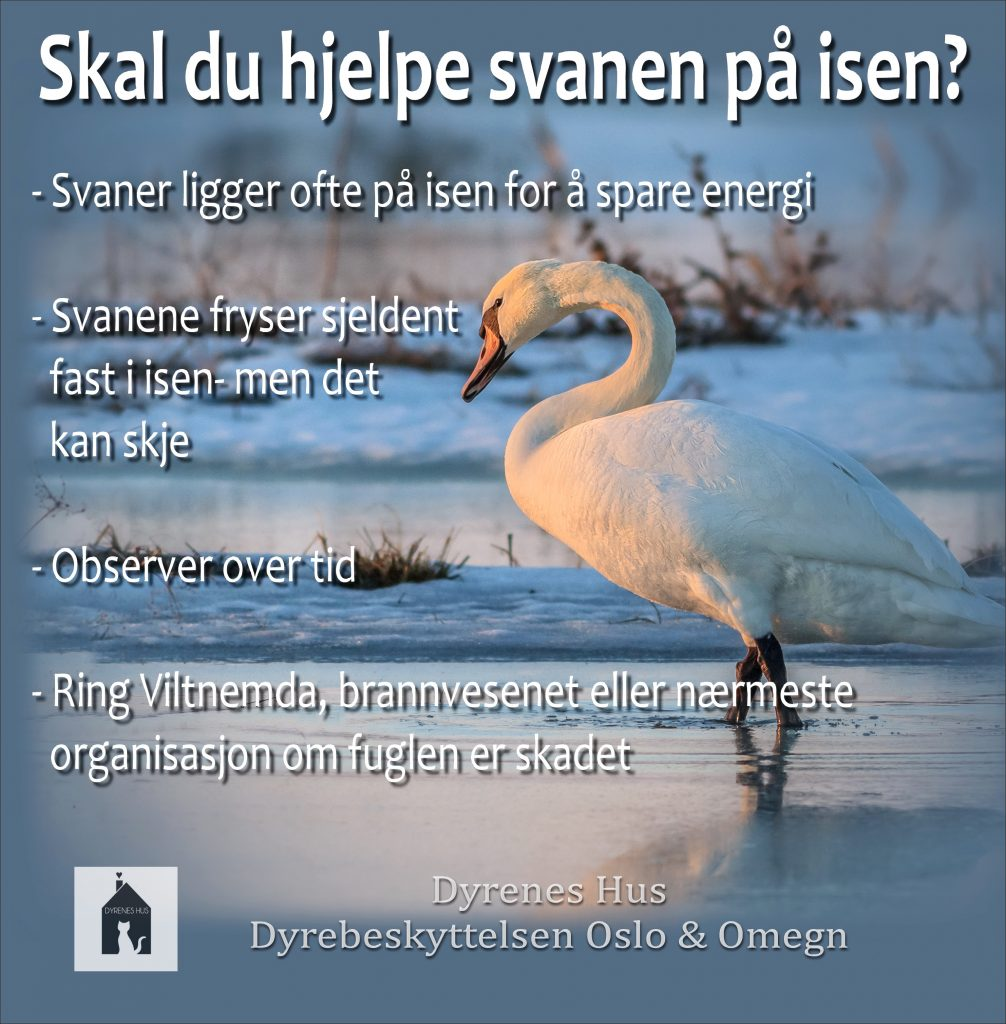 Poster av en svane som står i vannet med snølandskap bak. Posterens overskrift sier: Skal du hjekpe svanen på isen? Videre: Svaner ligger ofte på isen for å spare energi. Svanene fryser sjeldent fast i isen, men det kan skje. Obserer over tid. Ring viltnemda, brannvesenet eller nærmeste organisasjon som fuglen er skadet. Dyrenes hus sin logo nederst og navnet.