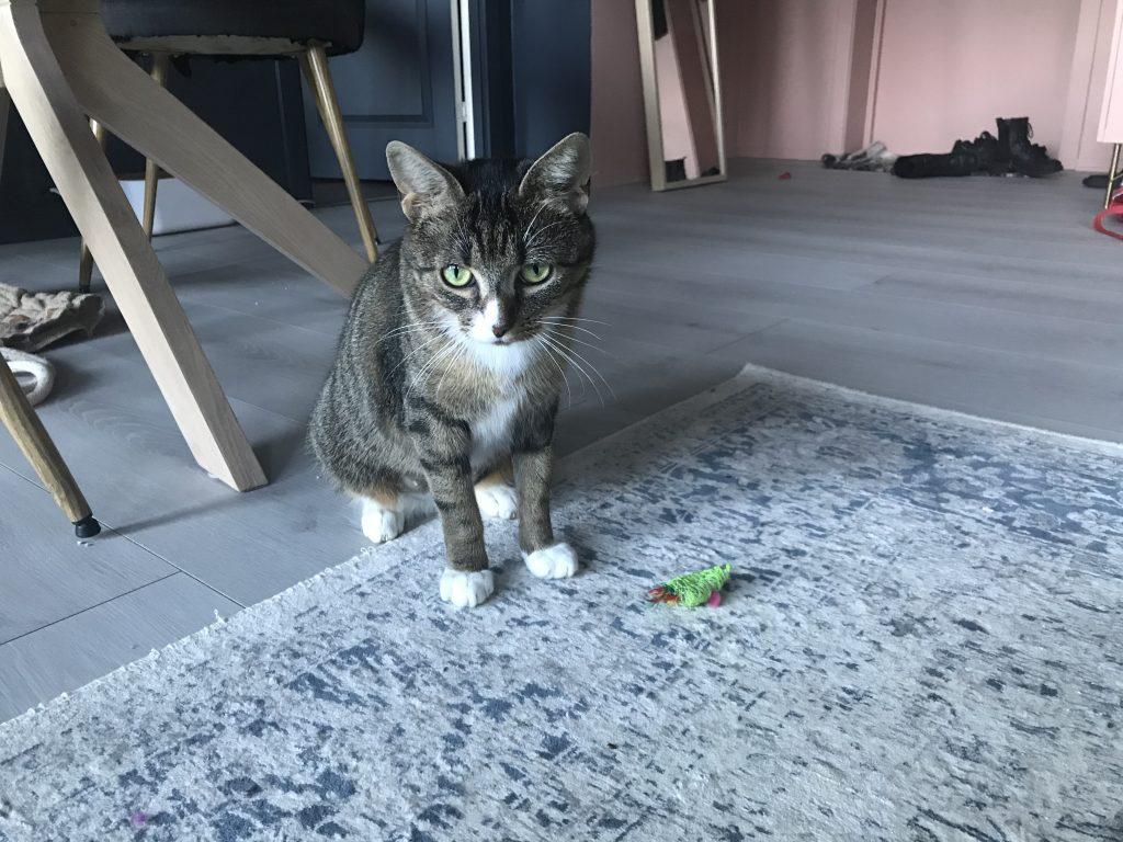 Helena sitter på gulvet og ser mot kameraet. Det ligger en liten grønn mus på gulvet rett foran henne. Hun er en tigerstripet katt med hvite poter og hvitt bryst.