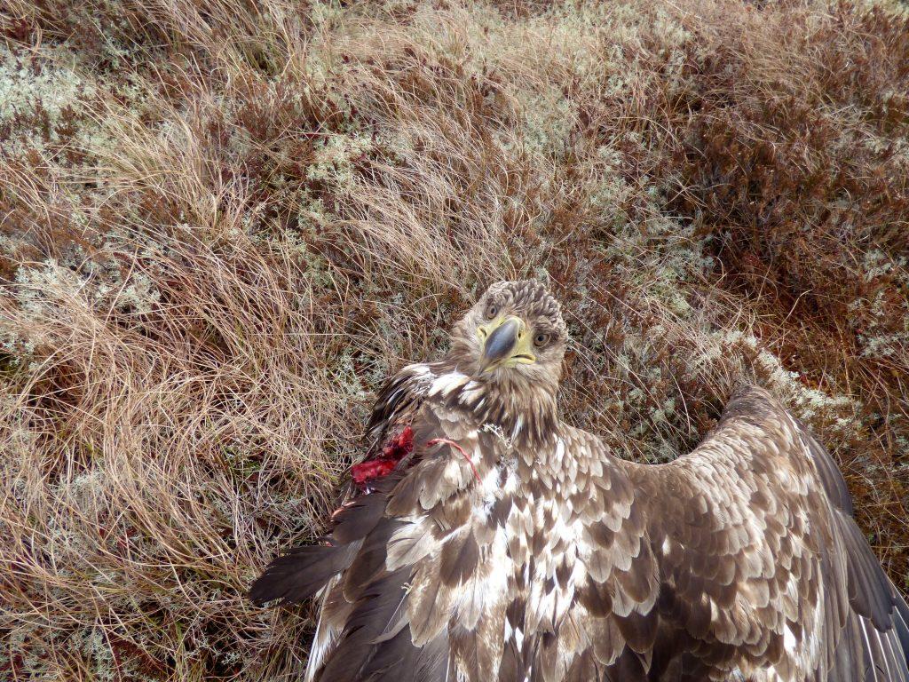Bildet viser en ørn som står på gult gress på bakken. Venstre vinge er borte og det er blod der vingen er revet vekk av vindturbinene. Ørnen har hodet vendt mot kameraet og høyre vingen er foldet ut.