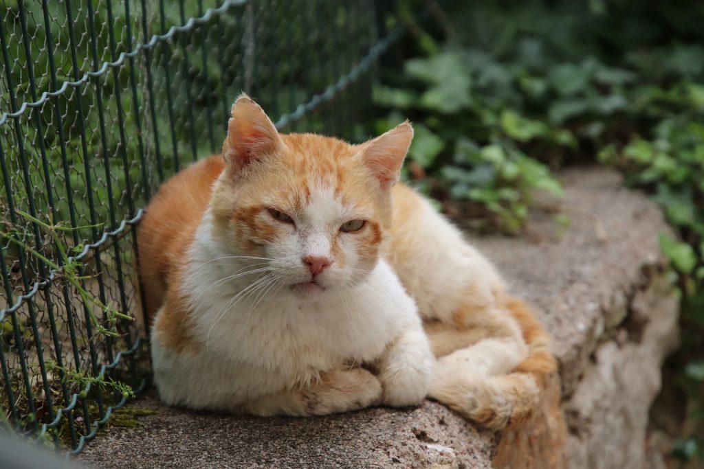 En rød og hvit katt ligger på kanten av en mur. Bak katten er det et grønt gittergjerde. slik som brukes i hager. Katten ser mot kameraet og har halvlukkede øyne. Den har rufsete ører og bærer preg av å ha levd et langt liv og hatt noen slosskamper.
