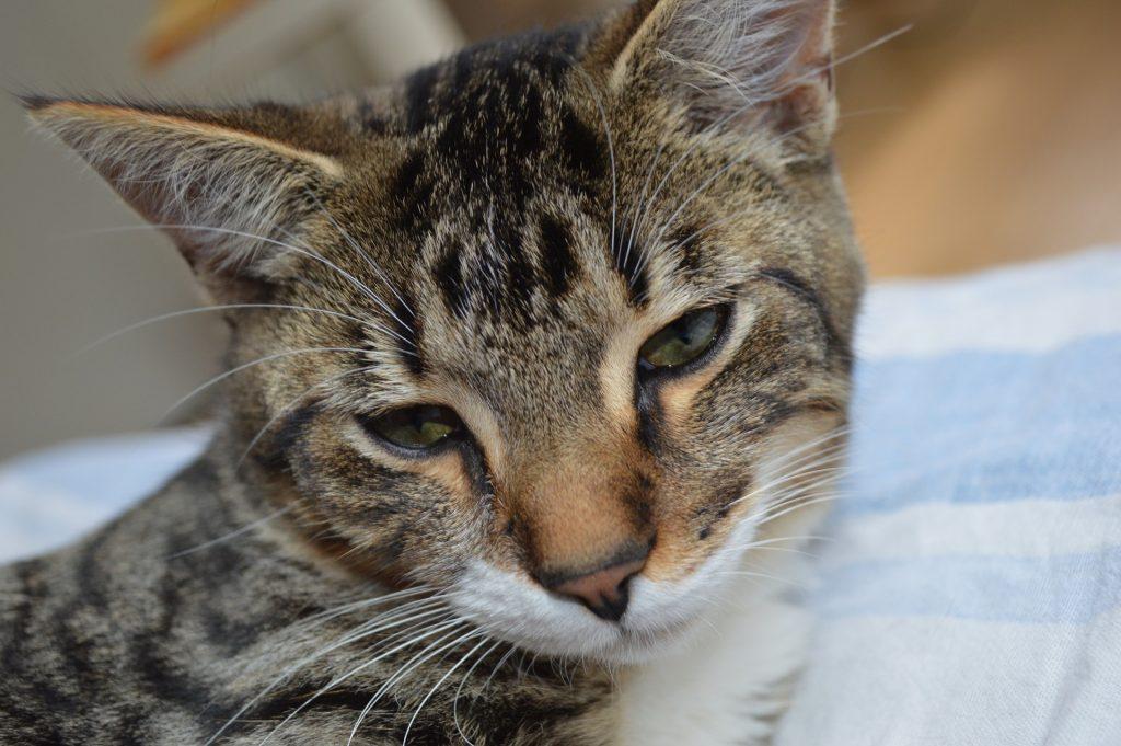 Bilde av hodet til en tigerstripet katt. Men hodet på skrå og blikket ned.