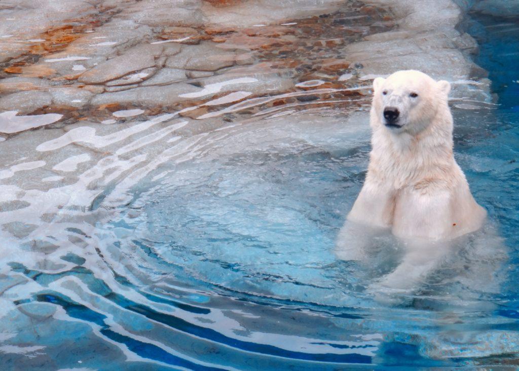En isbjørn sitter i blått vann med overkroppen over vannet.
