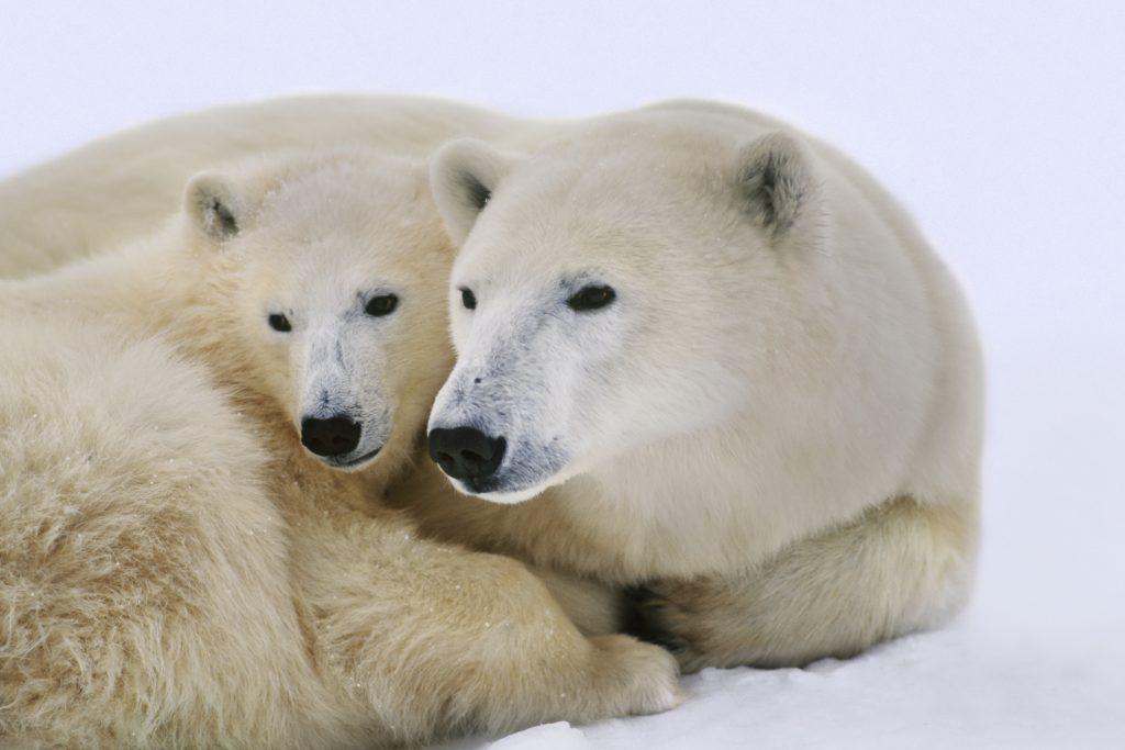 En isbjørnmor med unge. Tett nærbilde der de har hodene tett sammen og ser mot venstre ut av bildet.