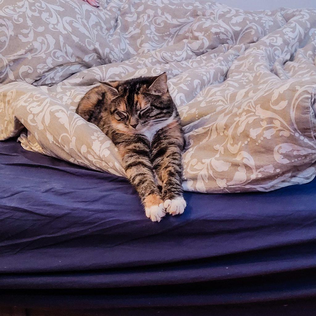 Fontina ligger oppå en dyne med beige sengetrekk. Sengen har blått laken og Fontina sover med forbena strukket fremfor seg.