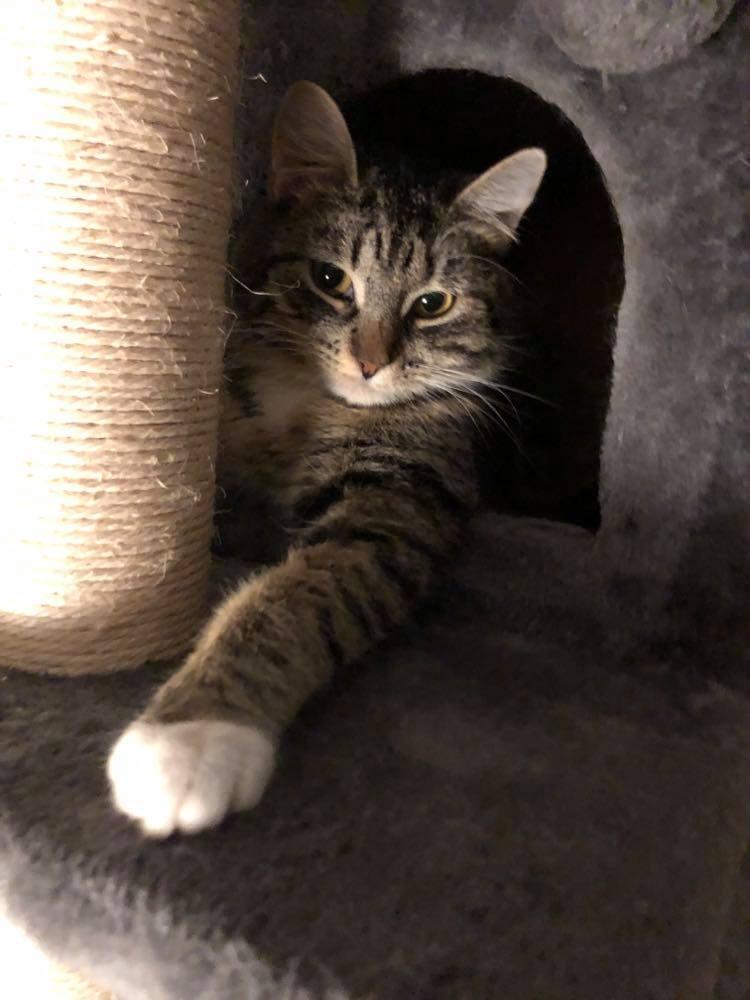 Afrodite titter ut av en grå kattehule som er en del av et kattestativ, hun har strukket ut den venstre labben foran seg som har hvit sokk.Til venstre for åpningen av hulen ses en klorestolpe somer en del av stativet.