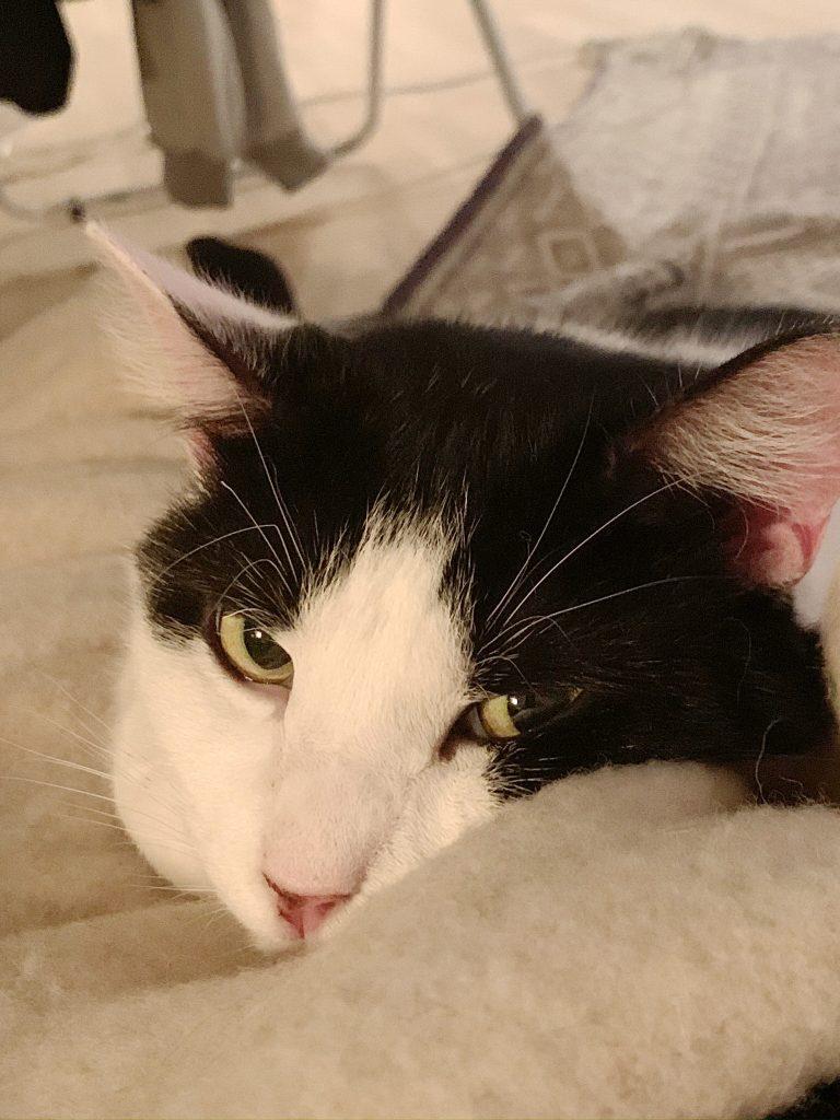 Nærbildet av Lord Nelson. Hans vakre gule øyne titter rett på kameraet.