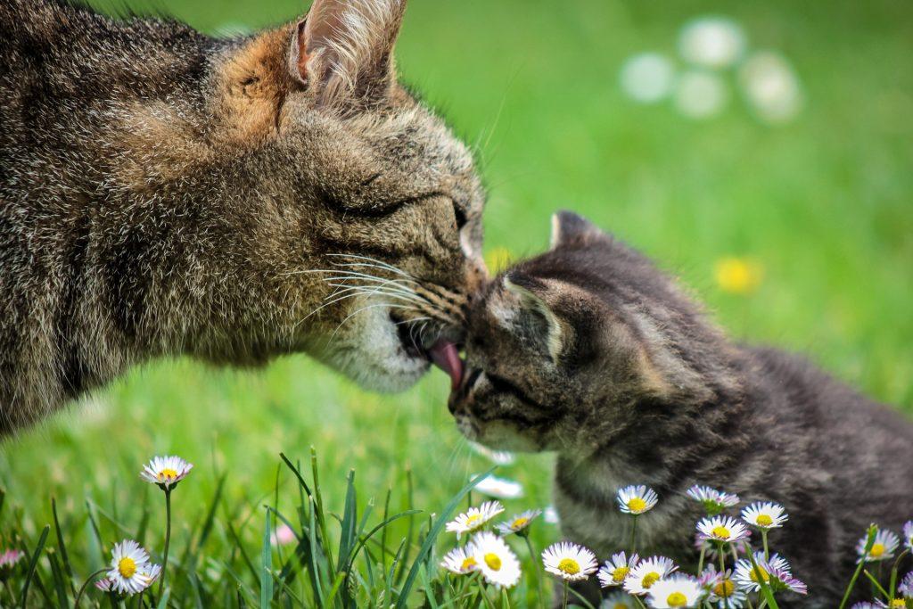 En tigerstripet kattemor vasker ansiktet til sin lille tigerkatt. De sitter på en gressplen med tusenfryd i forkant.
