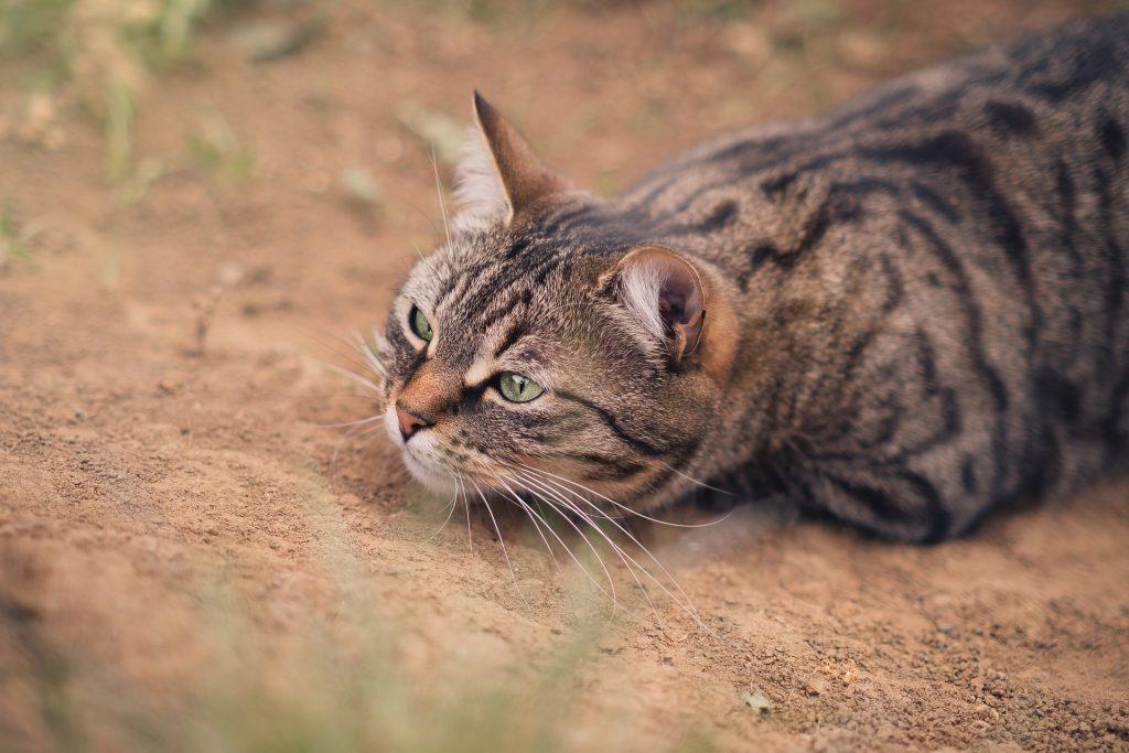 En tigerkatt ligger på marken i jaktposisjon, med hodet ned og ørene frem.