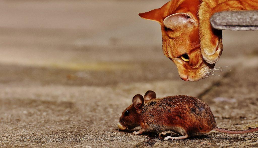 Til høyre i bildet ligger en oransje tigerkatt med hodet ned fra et trinn og ser på musen under.