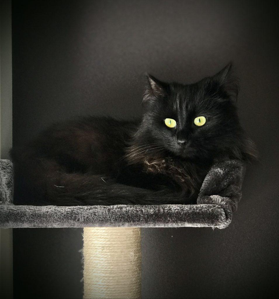 Cleopatra ligger oppå klorestativet som har grå plysj, veggen bak er grå og Cleo har sort pels med gule øyne.