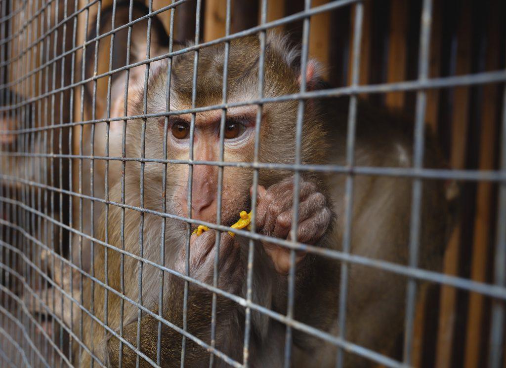 En ape i et bur
