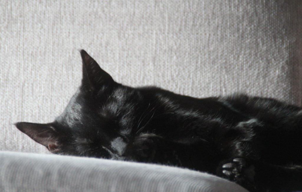 Gucci ligger og sover på en grå sofa. Hun har skinnende svart pels. Øynene er lukket og man ser den ene poten med sorte trædeputer.