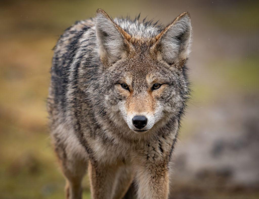 Foto av en coyote, prærieulv.