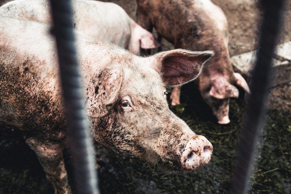 To skitne griser bak et gitter. De står på møkk.