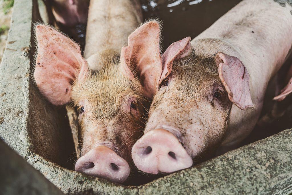 To skitne griser ser inn i kameraet. De er i en sementbås med sementvegger og har mye skitt på hodene.
