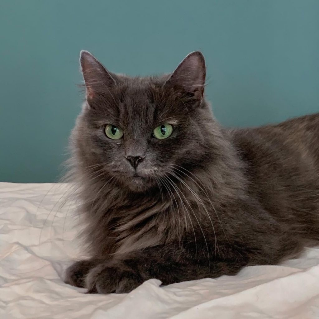 Nærbilde av Sandra som har flott man med lang pels og grønne øyne.