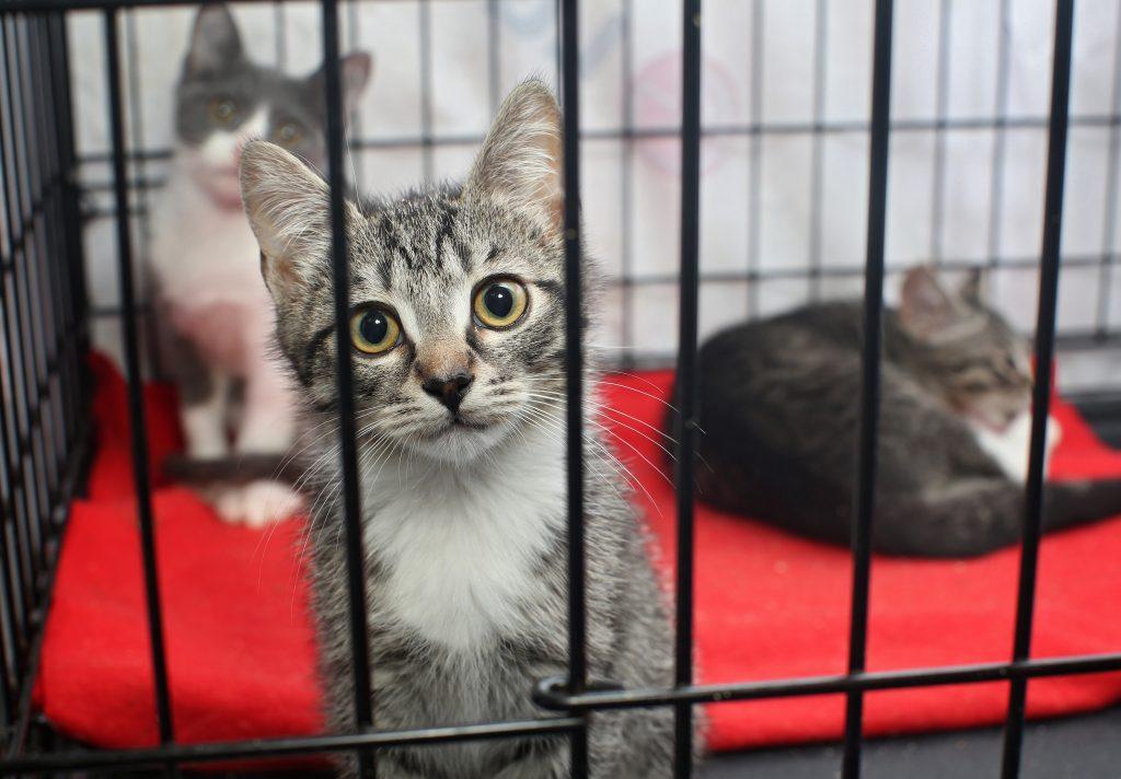 3 kattunger i et bur.
