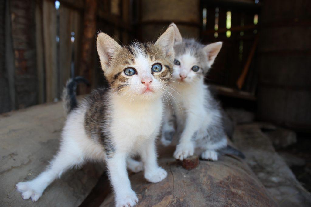 To hjemløse kattunger i en låve.
