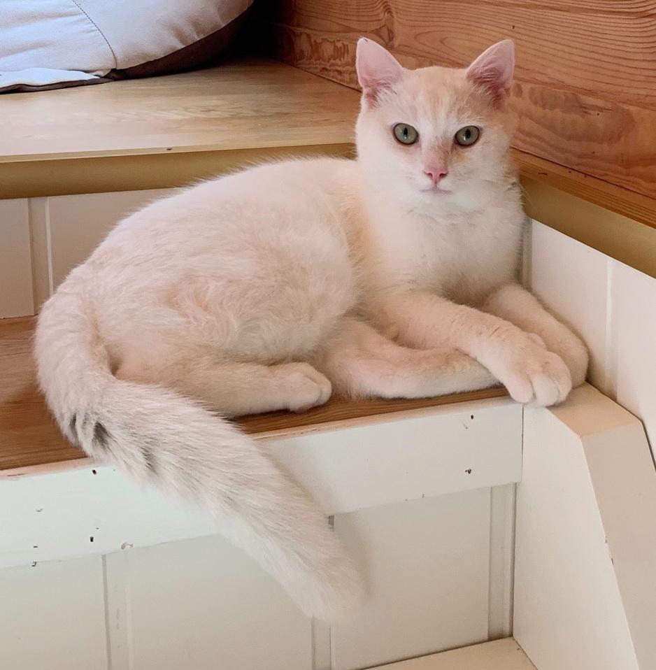 Choupette ligger i toppen av trappen med den fine halen sin foran seg.