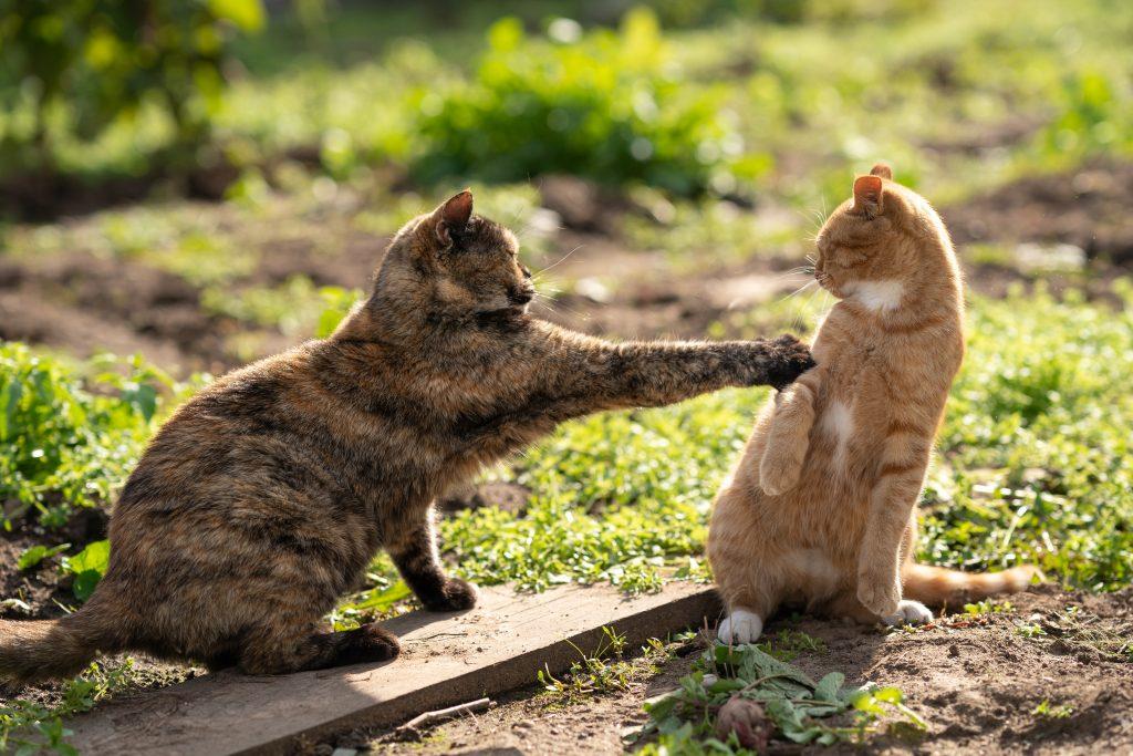 To katter krangler i gresset.