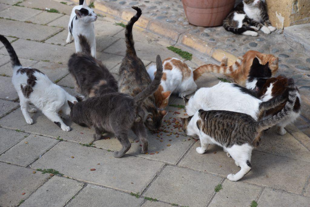 Mange katter spiser sammen på bakken.