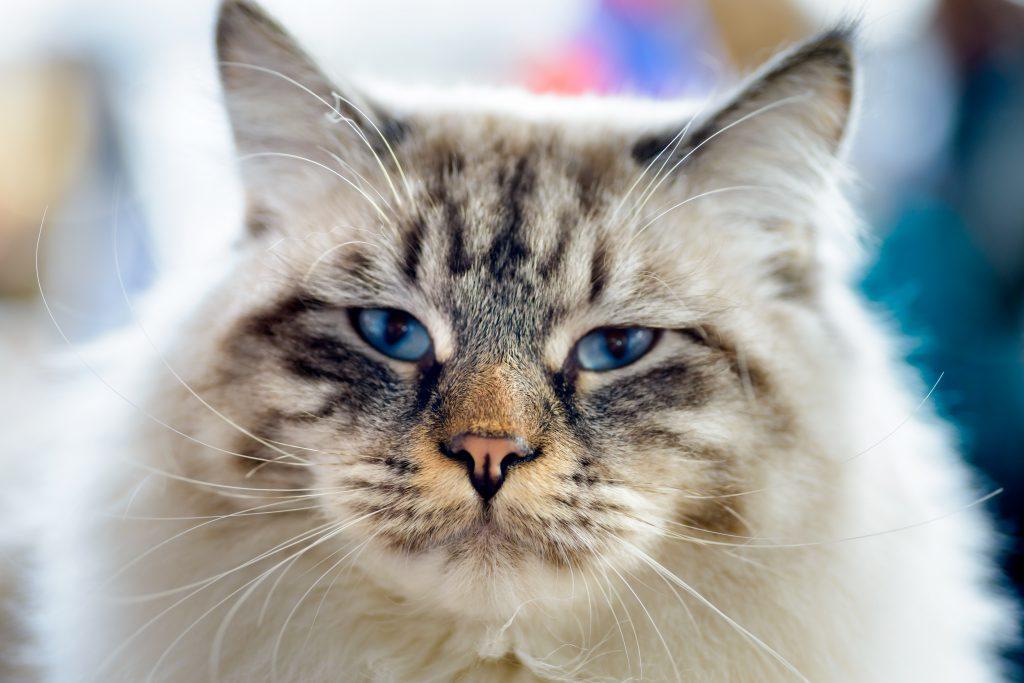 En vakker katt myser, smiler.